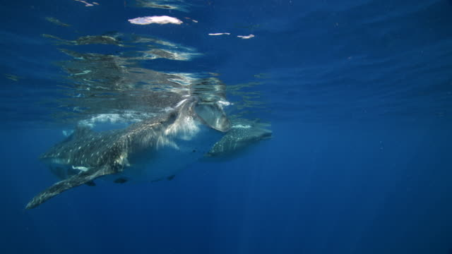 Free divers observe whale shark feeding at the surface of the water