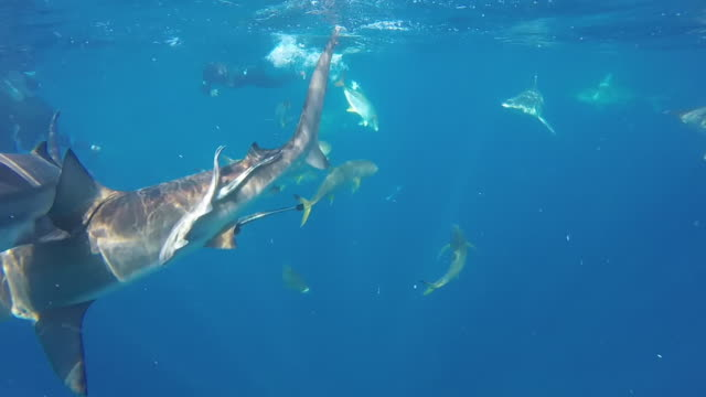 vídeos de stock e filmes b-roll de free diving with blacktip sharks - tubarão galha preta