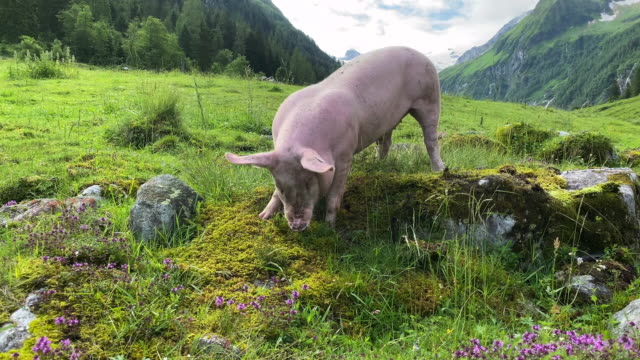 free pigs in the alps - organic stock videos & royalty-free footage