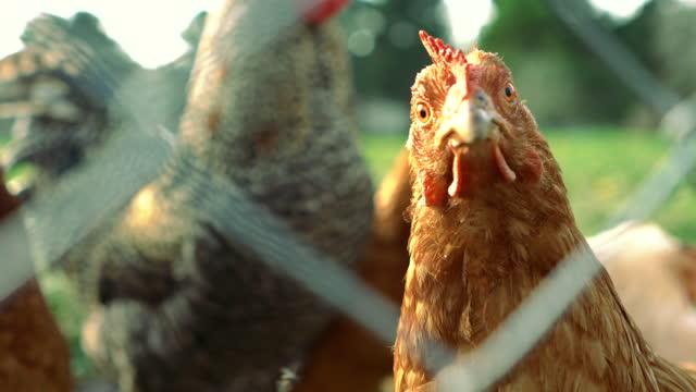 pollo a gamma libera guardando la fotocamera dietro la rete metallica - 4k e audio disponibili - gabbia per gli uccelli video stock e b–roll
