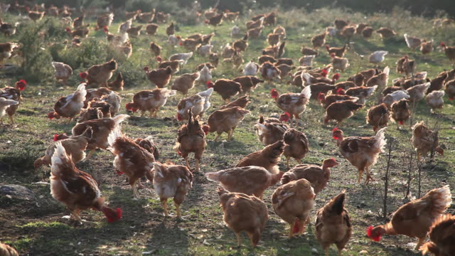 free range chickens (gallus gallus domesticus), ardeche, france - virus dell'influenza aviaria video stock e b–roll
