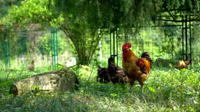 vídeos de stock e filmes b-roll de free range chickens eating - galinha fêmea de animal