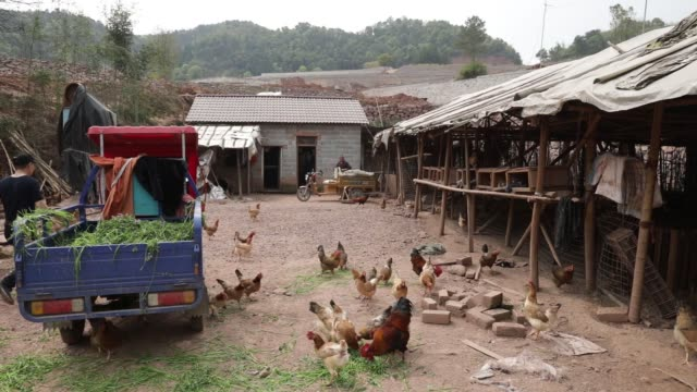 free range chickens feed at a farm which rears poultry for pifu ecological agriculture ltd near jiande zhejiang province china on thursday april 6... - zhejiang province stock videos & royalty-free footage