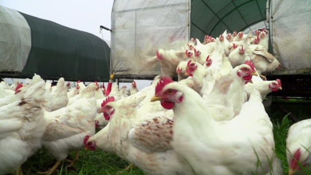 free range chickens on organic farm - chicken coop stock videos and b-roll footage