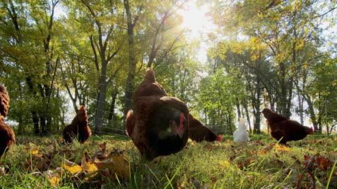vídeos y material grabado en eventos de stock de ws free range chickens pecking and scratching in grass / wilmington, illinois, usa - ave de corral