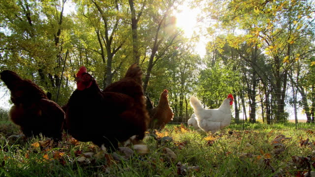 WS Free range chickens pecking and scratching in grass / Wilmington, Illinois, USA