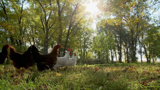 WS SLO MO Free range chickens running across grass / Wilmington, Illinois, USA