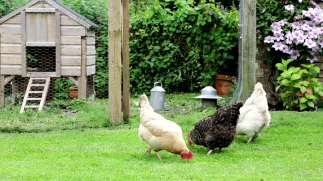 Freilandhuhn Hühner.