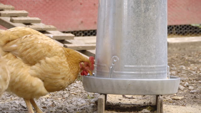 MS PAN Free range hens drinking water from tank in farm yard / Chelsea, Michigan, United States