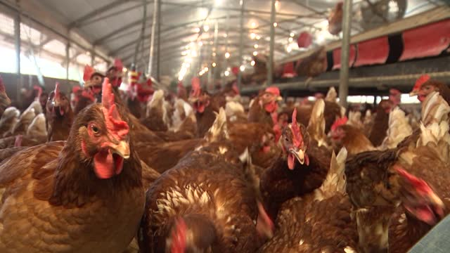 free range poultry farm; england: hampshire: fordingbridge: fluffets farm: int further shots of free range hens in large chicken coop - agriculture stock videos & royalty-free footage