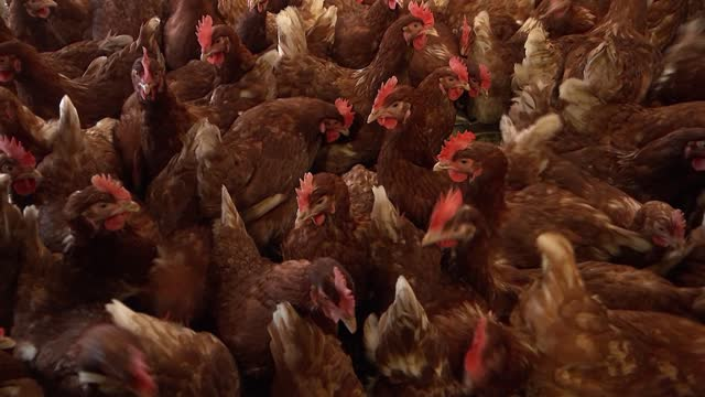 free range poultry farm; england: hampshire: fordingbridge: fluffets farm: int various ben jackson interview as packing free range eggs into... - agriculture stock videos & royalty-free footage