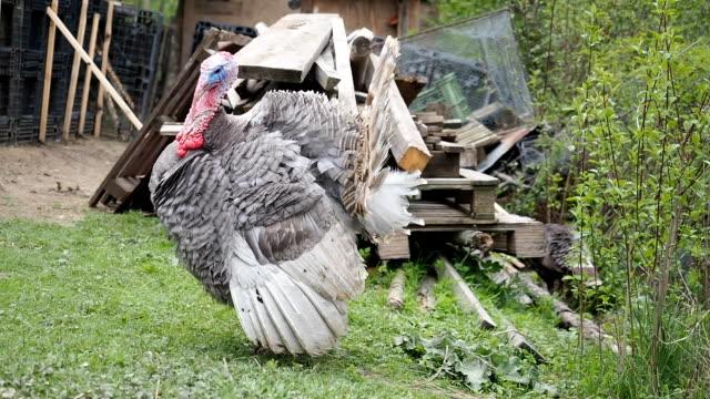 Free range turkey strutting in the garden