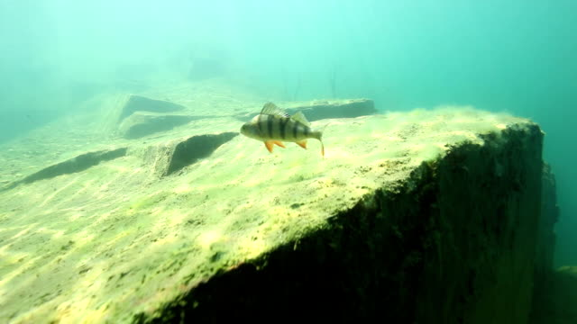 freediver watching couple of perch underwater - perch stock videos and b-roll footage