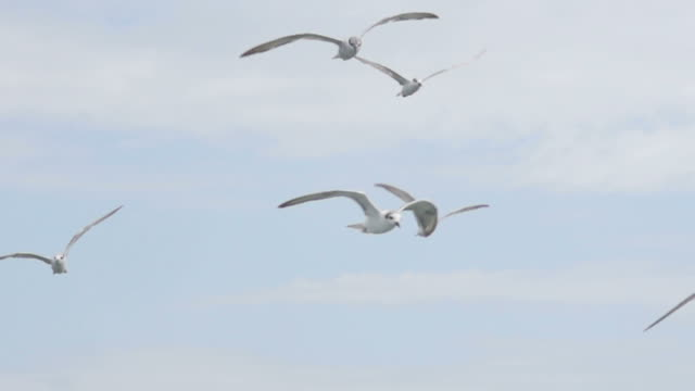 freedom fly : hd slow motion - seagull stock videos and b-roll footage