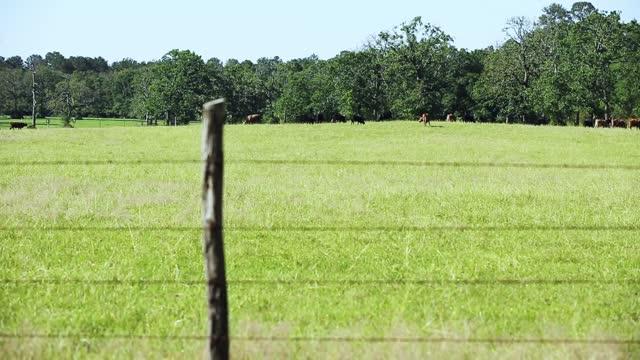 vidéos et rushes de bovins de boucherie en liberté, y compris un taureau, des vaches et des veaux, - fil barbelé