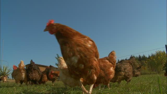 Free-range chickens - Hen - chicken pecking
