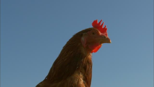 Free-range chickens - Hen