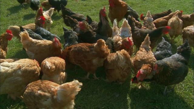 WS Free-range chickens on grass / Virton, Luxembourg, Belgium