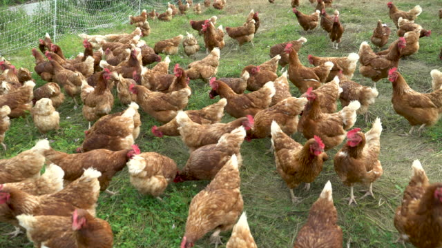 free-range, pasture-raised chickens - wiese stock-videos und b-roll-filmmaterial