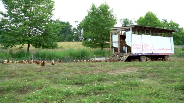 vídeos de stock, filmes e b-roll de free-range, pasture-raised chickens - atlântico central eua