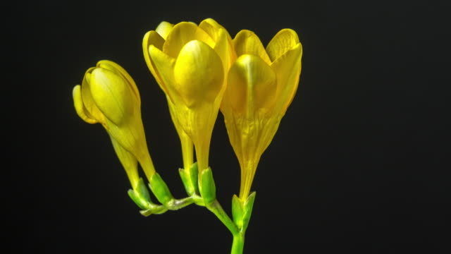 freesia blooming against black background in a 4k time lapse movie. freesia growing blooming and blossoming in moving time lapse against black background. - weiß stock videos & royalty-free footage