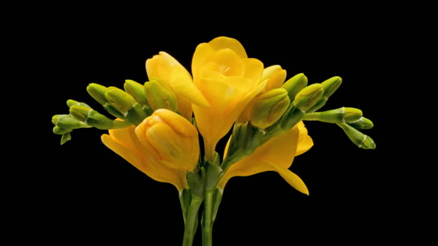 Freesia Blooming Time Lapse