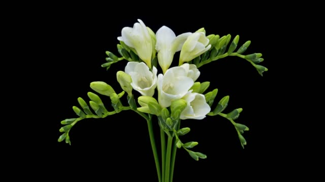 freesia white blooming - flower head stock videos & royalty-free footage