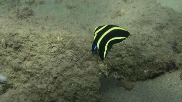french angelfish. - angelfish stock videos & royalty-free footage