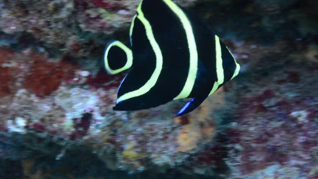 vídeos de stock, filmes e b-roll de french angelfish. - ecoturismo