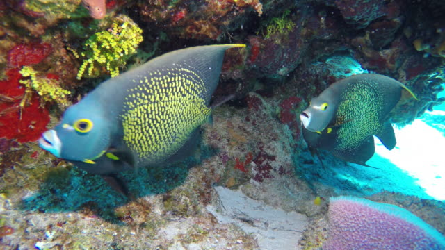 french angelfish - angelfish stock videos & royalty-free footage
