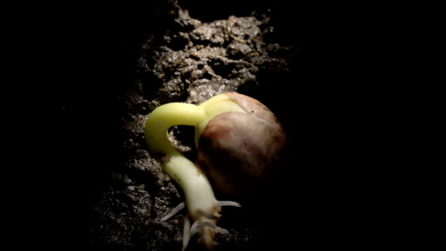 vídeos de stock, filmes e b-roll de french bean germinating, timelapse - planta nova
