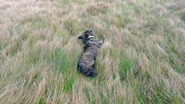 vidéos et rushes de français bulldog et le terrier de staffordshire américain jouant 4k - rouler ou dérouler