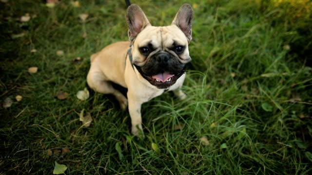 french bulldog. french bulldog dog walking on grass - animal nose stock videos & royalty-free footage