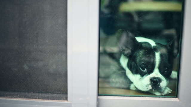 french bulldog looking through window waiting sad - puppy stock videos & royalty-free footage