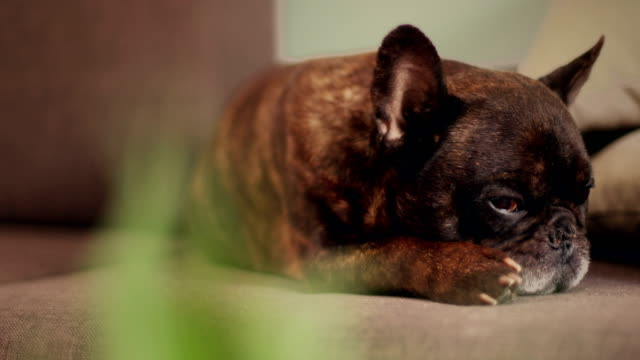 french bulldog napping - ugliness stock videos & royalty-free footage
