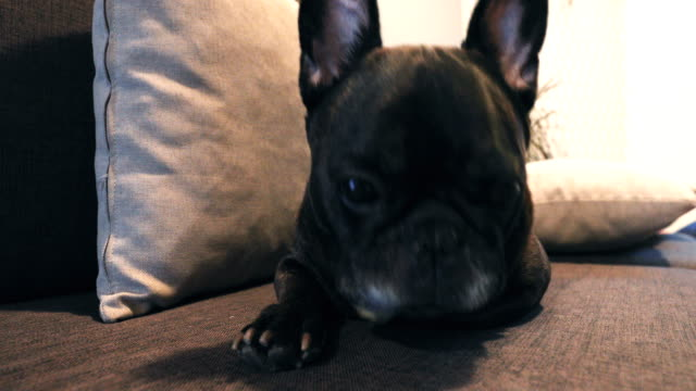 french bulldog on sofa - entertainment occupation stock videos and b-roll footage