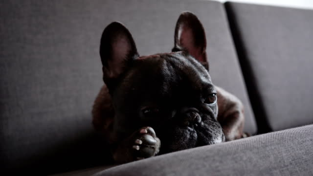 french bulldog on sofa - brown stock videos & royalty-free footage