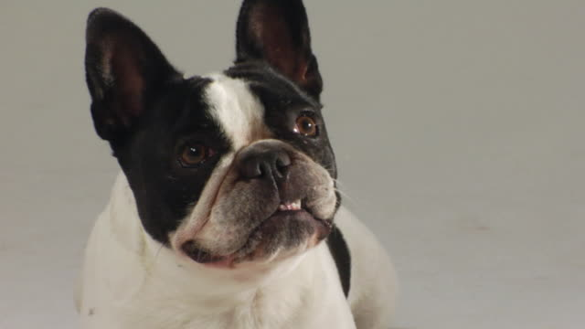 cu zi french bulldog panting and licking its mouth / boston, massachusetts, usa - french bulldog stock videos and b-roll footage