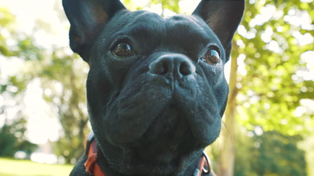 french bulldog portrait. - french bulldog stock videos and b-roll footage