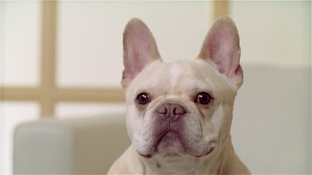 cu, zo, ms, french bulldog, portrait - french bulldog stock videos and b-roll footage