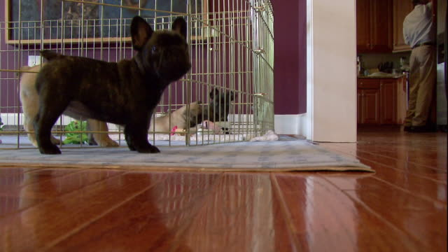 french bulldog puppies occupy a living room. - french bulldog stock videos and b-roll footage