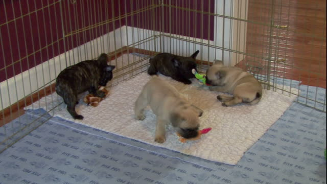 french bulldog puppies play in an enclosure. - french bulldog stock videos and b-roll footage