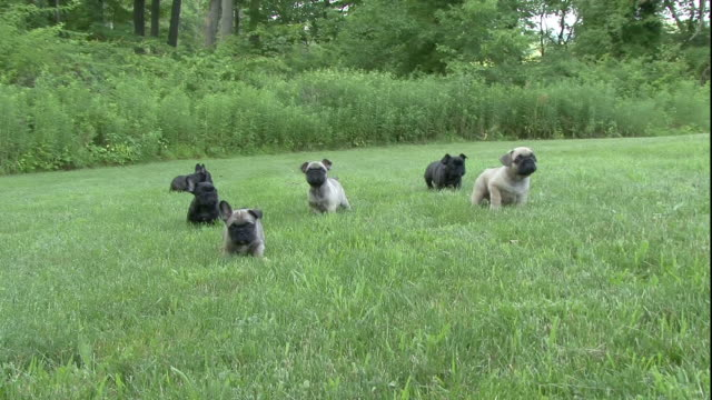 french bulldog puppies play on a green lawn. - french bulldog stock videos and b-roll footage