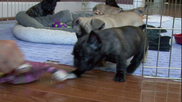 French bulldog puppies play with a toy.