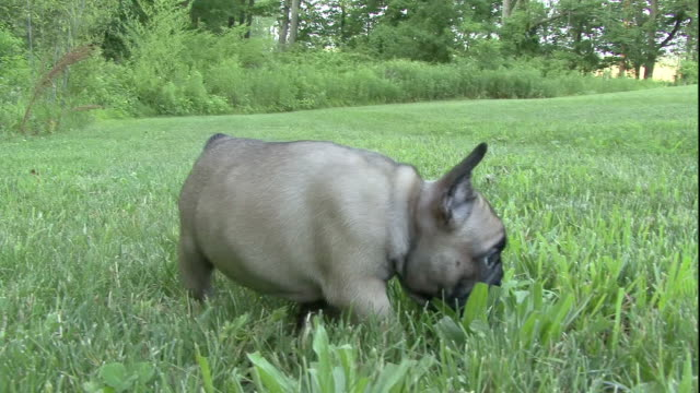 a french bulldog puppy noses around in green grass. - french bulldog stock videos and b-roll footage