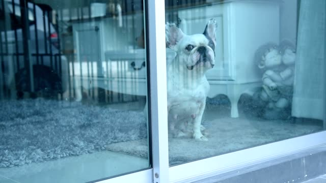 french bulldog sitting in front of mirror door - french bulldog stock videos and b-roll footage
