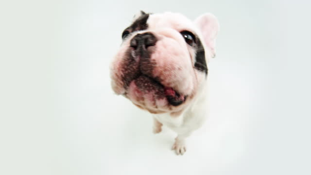 french bulldog - fish eye lens stock videos & royalty-free footage