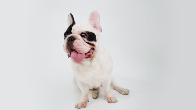 french bulldog - french bulldog stock videos and b-roll footage