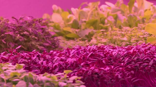 French chefs are vying to get their hands on the latest culinary condiment micro greens