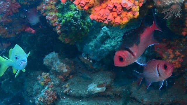 french grunt and blackbar soldierfish. - イットウダイ点の映像素材/bロール